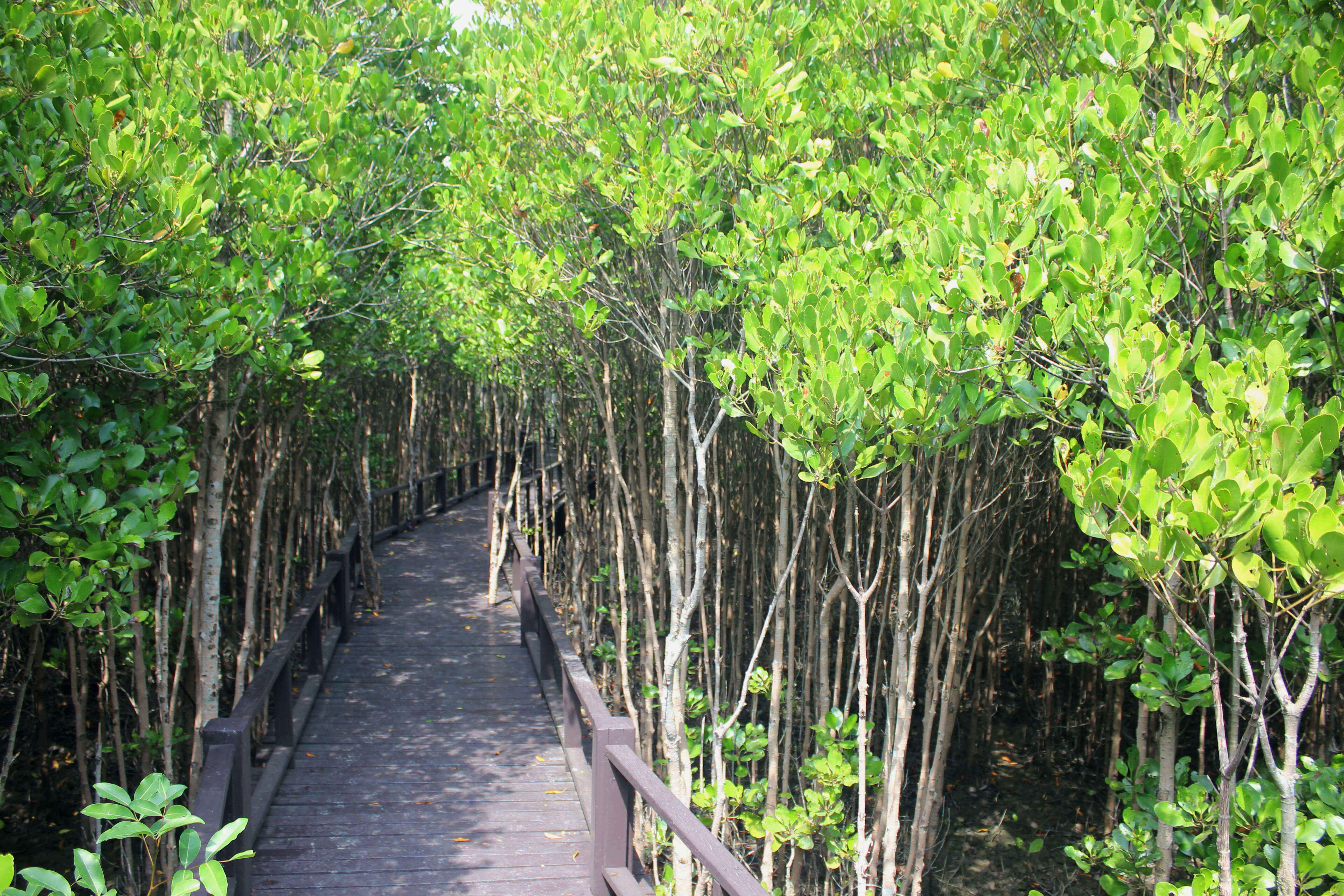 Мангровые заросли на острове Ко Чанг, Таиланд