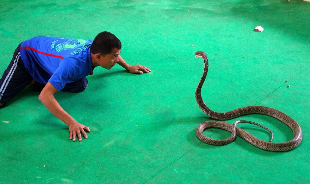 Змеиное шоу в Паттайе, Таиланд