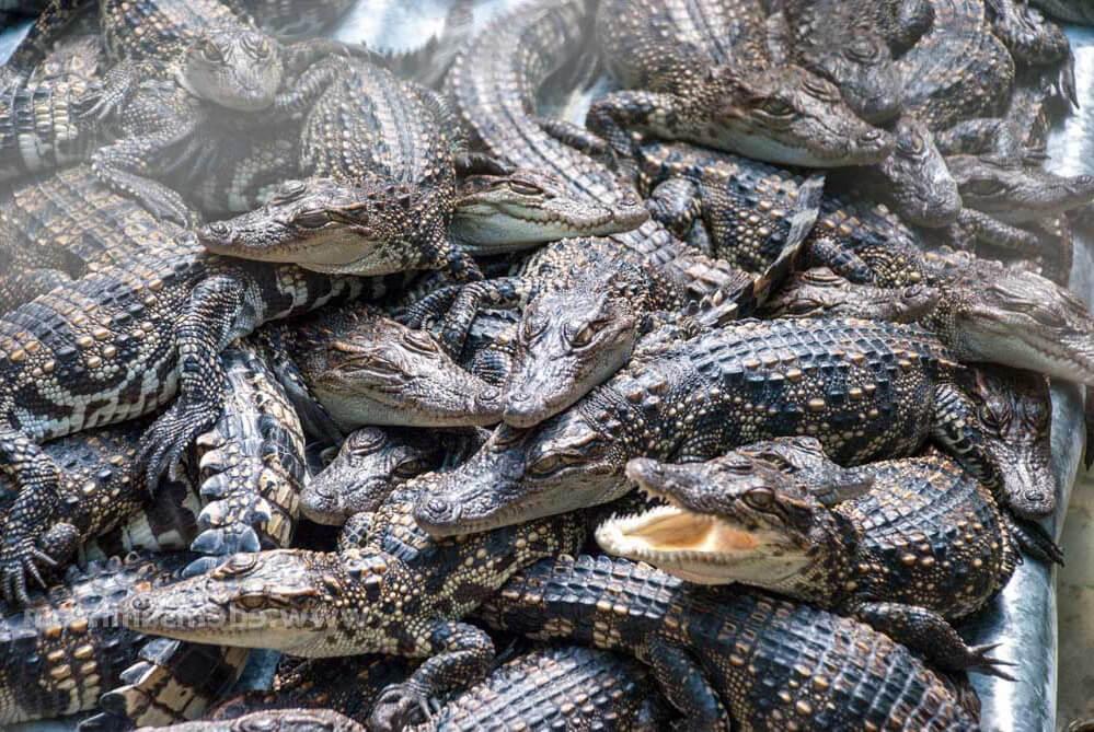 Фото крокодиловой фермы в Паттайе