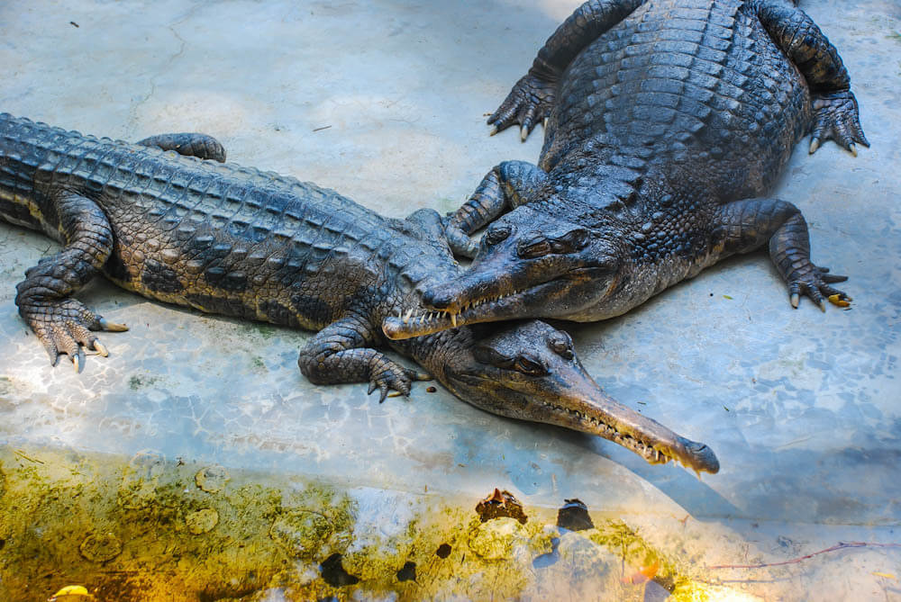 Фото узкомордых крокодилов